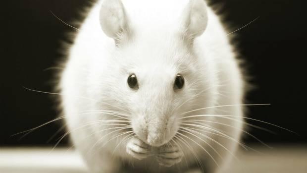 rato-roedor-620-original1